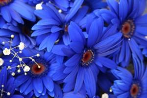 青いガーベラ 花言葉